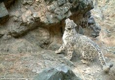 This Snow Leopard is about to rub his cheeks on this prominent rock, then spray it with urine, in order to broadcast his presence.