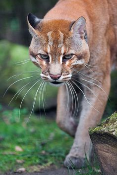 ~~Whiskers | Asian Golden Cat, medium-sized wild cat of Southeastern Asia | by Johannes Wapelhorst~~