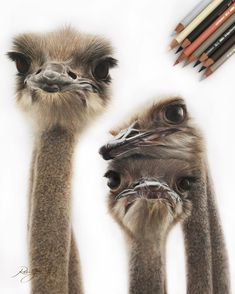 Curious Ostriches. Realistic Color Pencil Animal Drawings. By Robin Gan.