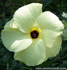 Abelmoschus manihot - Edible Hibiscus