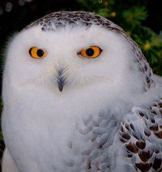 Printable Snowy Owl | Snowy Owl Photograph by Richard Marquardt - Snowy Owl Fine Art Prints ...