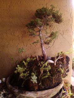 Japanese Black pine On Lave I call Bonsai Island