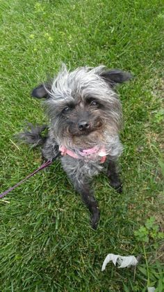 Meet Ariel, a Petfinder adoptable Terrier Dog | Baltimore, MD | Hi - My name is Ariel and I am a new member of the AARF family. I am a 5 year old, female Terrier...