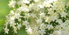 Wunderbare Holunderblüten (1)