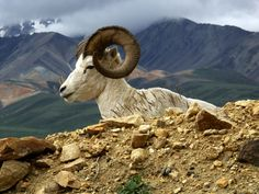 """""""Dall Sheep in Denali National Park"""" by Barry Lutz"""
