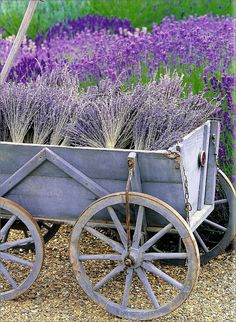 Dried lavender in an old wagon..
