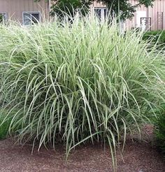 Miscanthus sinensis 'Variegatus' - Variegated Maiden Grass - in height. tolerates a wide range of soil types; Tall Ornamental Grasses, Perennial Grasses, Perennials, Outdoor Landscaping, Outdoor Plants, Outdoor Gardens, Backyard Plants, Landscaping Ideas, Outdoor Spaces