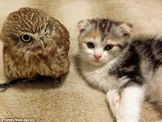 Fuku the owl, left and Marimo the kitten, right, have formed an unlikely friendship in Osaka in Japan