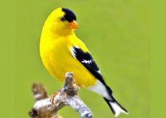 American Goldfinch By:Big Bird