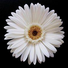 Sunflowers And Daisies, Gerber Daisies, Margaritas Gerbera, White Flowers, Beautiful Flowers, Sun Flowers, Plant Species, Botanical Art, Daffodils