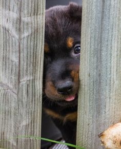 Beauceron Puppy by Philipp B on 500px