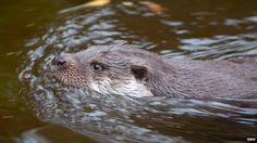 otter swimming - Google Search