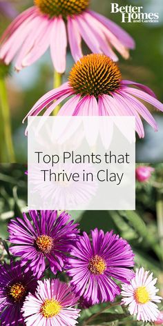 If you're gardening with clay soil, you may experience some issues landscaping with flowers. These are the best plants you can grow in clay, including some of our favorites like aster, black-eyed Susan, Russian sage, and more.