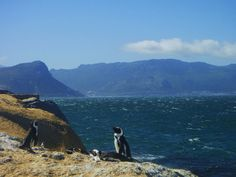 Penguins at Boulders Beach in Simon's Town outside of Capetown, South Africa via ZaagiTravel.com