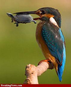 Common Kingfisher. brizdazz.blogspot.com