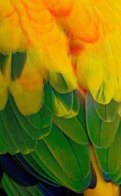 Sun conure plumage