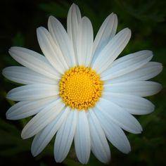 2010 Bright Daisy by Pearson Photography