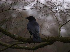 Crow, Hampstead Heath, London by Michael Cole