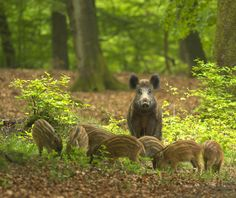 Wild boar with young at Veluwe National Parc, The Netherlands Beautiful Creatures, Animals Beautiful, Baby Animals, Cute Animals, Wild Boar, Parc National, Walk In The Woods, All Nature, Mundo Animal