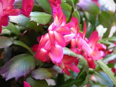 Figuring out how to make a Christmas cactus bloom can be tricky for some. but, by following proper watering, light and temperature conditions, it can be easy. This article will help with that.