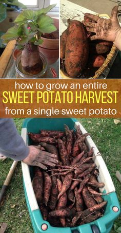 How to Grow An Entire Sweet Potato Harvest From A Single Sweet Potato - HouseKeeperMag.com