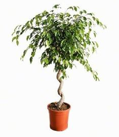 Ficus Benjamina twist