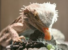 Getting your Beardie to Eat his Greens.