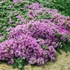 Thymus serpyllum 'Hall's Variety' kruiptijm, kleine wilde tijm