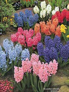 jacinto flor - Pesquisa Google
