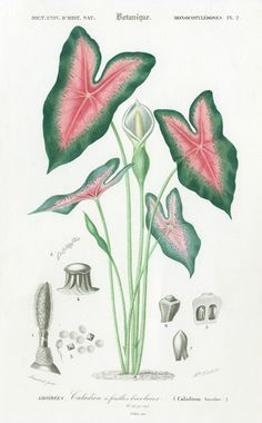 D'Orbigny Botanical Prints 1849