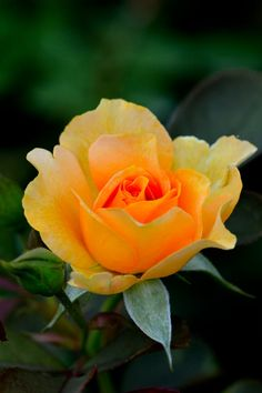 Orange Delight by Joseph Broyles / Beautiful Rose Flowers, Pretty Roses, Love Rose, Exotic Flowers, Orange Flowers, Tropical Flowers, Yellow Roses, Amazing Flowers, Red Roses