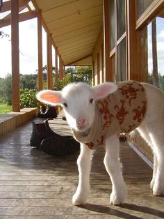 i want a pet lamb.
