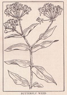 Butterfly weed ~ public domain floral illustration 1917.