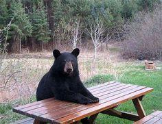 Ursos que imitam humanos  (Foto: reprodução)