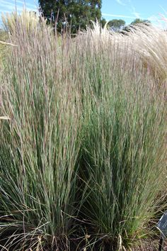 schizachyrium-scoparium 'prairie blues', zone 3, 1.25m, dense, tidy clumps of upright, stiff, grayish blue foliage that turns reddish orange in autumn. fluffy, silvery heads.