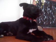 Mishu is an adoptable Black Labrador Retriever Dog in Seattle, WA. Meet Mishu, our 14 week old black lab mix. Mishu's middle name should be cuddly because she will do it anytime and anyplace. She lo...