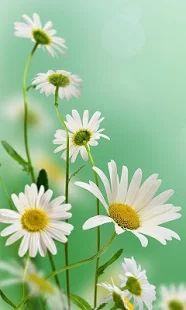 Άνοιξη λουλούδια Φοντο Κινητου - μικρογραφία στιγμιότυπου οθόνης
