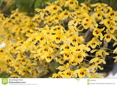 Dendrobium Friedericksianum Stock Photo - Image of detail, growing: 32656924 Yellow Orchid, Canes, Orchids, Thailand, Club, Stock Photos, Ebay, Image, Orchid