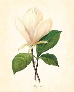Antique French Magnolia Redoute Botanical Art Print 8 x 10 Home Decor Digital Collage Home and Garden Wall Art. $10.00, via Etsy.