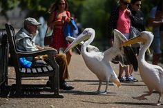 (Aug 02 2020) Pelicans in St James's Park in London. (Photo by Kirsty O'Connor/PA Images via Getty Images)