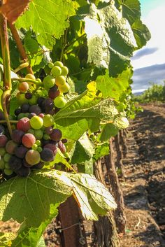 Vineyards in Sonoma County, California
