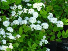 spirae petulifolia KOIVUANGERVO: 50-80cm, kesä-heinäkuu