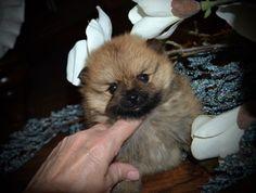 Pomeranian puppy for Sale in GRAYSON, LA. ADN-24815 on PuppyFinder.com Gender: Female. Age: 5 Weeks Old. Nickname: Ellie
