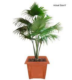 Medium Chinese Fan Palm Tree (Livistona chinensis) - Real Palm Trees Buy Palm Trees and Plants - Buy Plants Online at RealPalmTrees.com RealBonsaiTrees.com or RealOrnamentals.com #PalmTreeGifts #DIY2015 #BonsaiTrees #MiamiBonsai #big #2015PlantIdeas #Summer2015Plants #Ideas #BeautifulPlant #DIYPlants #OutdoorLiving #decoratingareasideas