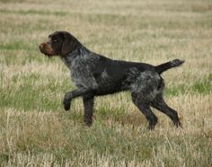 drahthaar dogs - Google Search