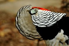 Oiseau faisan de lady amherst dsc 7777 1
