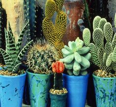 Cacti in blue vessels