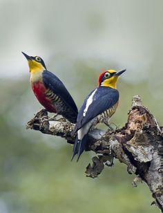 benedito-de-testa-amarela (Melanerpes flavifrons) Yellow-fronted Woodpecker by claudio.marcio2 on Flickr.