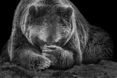 Homepage of Wolf Ademeit, Photographer, Animals Grizzly Bear Tattoos, White Pencil, Majestic Animals, Bar, Endangered Species, Westies, Brown Bear, Black Art, Polar Bear