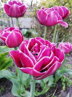 Życzenia na Dzień Matki bez rymów  W ten piękny i radosny dzień pragnę złożyć Ci, Mamo, najserdeczniejsze życzenia: długich lat w zdrowiu, szczęścia i wszelkiej pomyślności, spełnienia najskrytszych pragnień, samych cudownych chwil w życiu... Rose, Flowers, Plants, Pink, Plant, Roses, Royal Icing Flowers, Flower, Florals